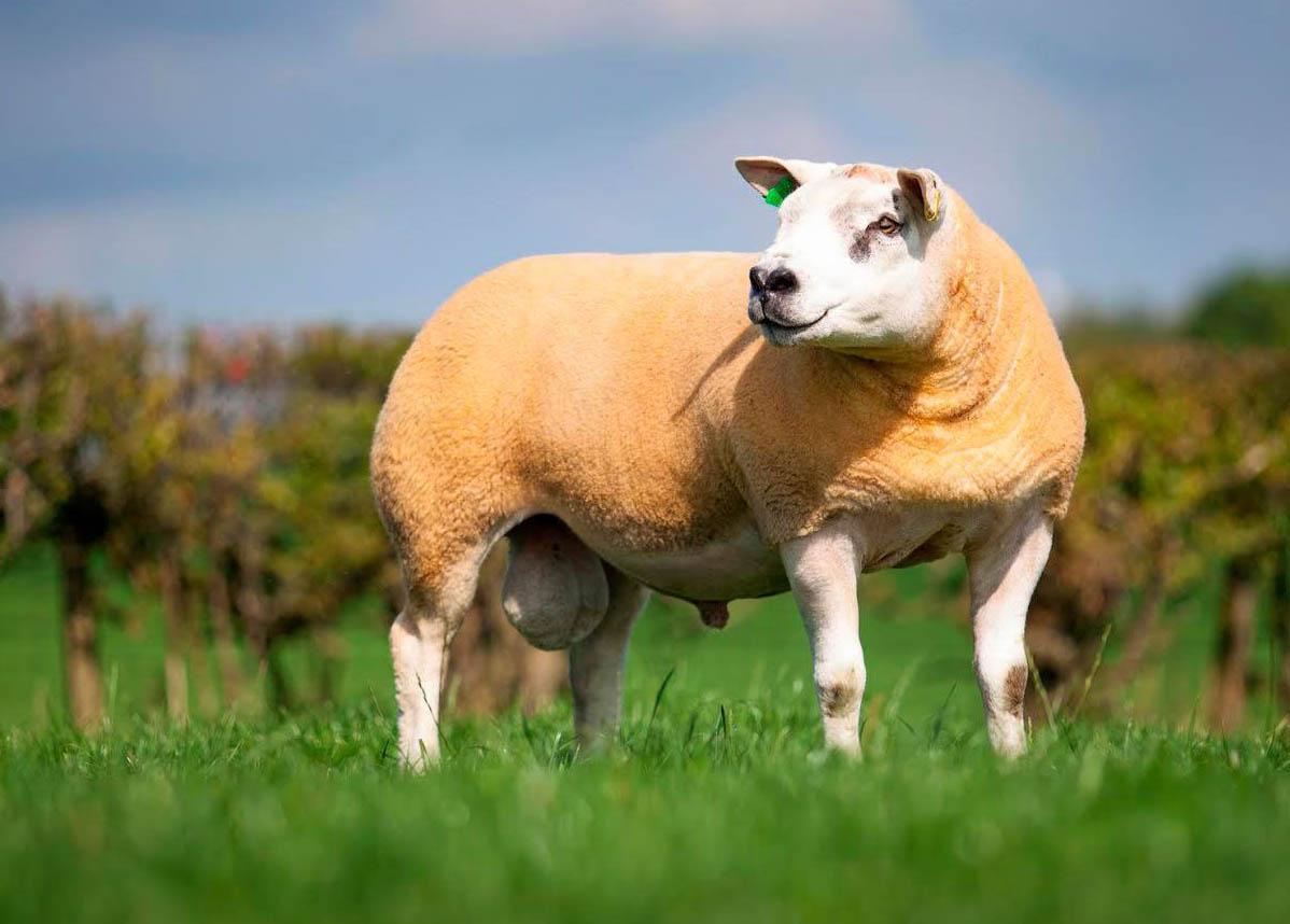 Information - Texel Sheep Breeders Society