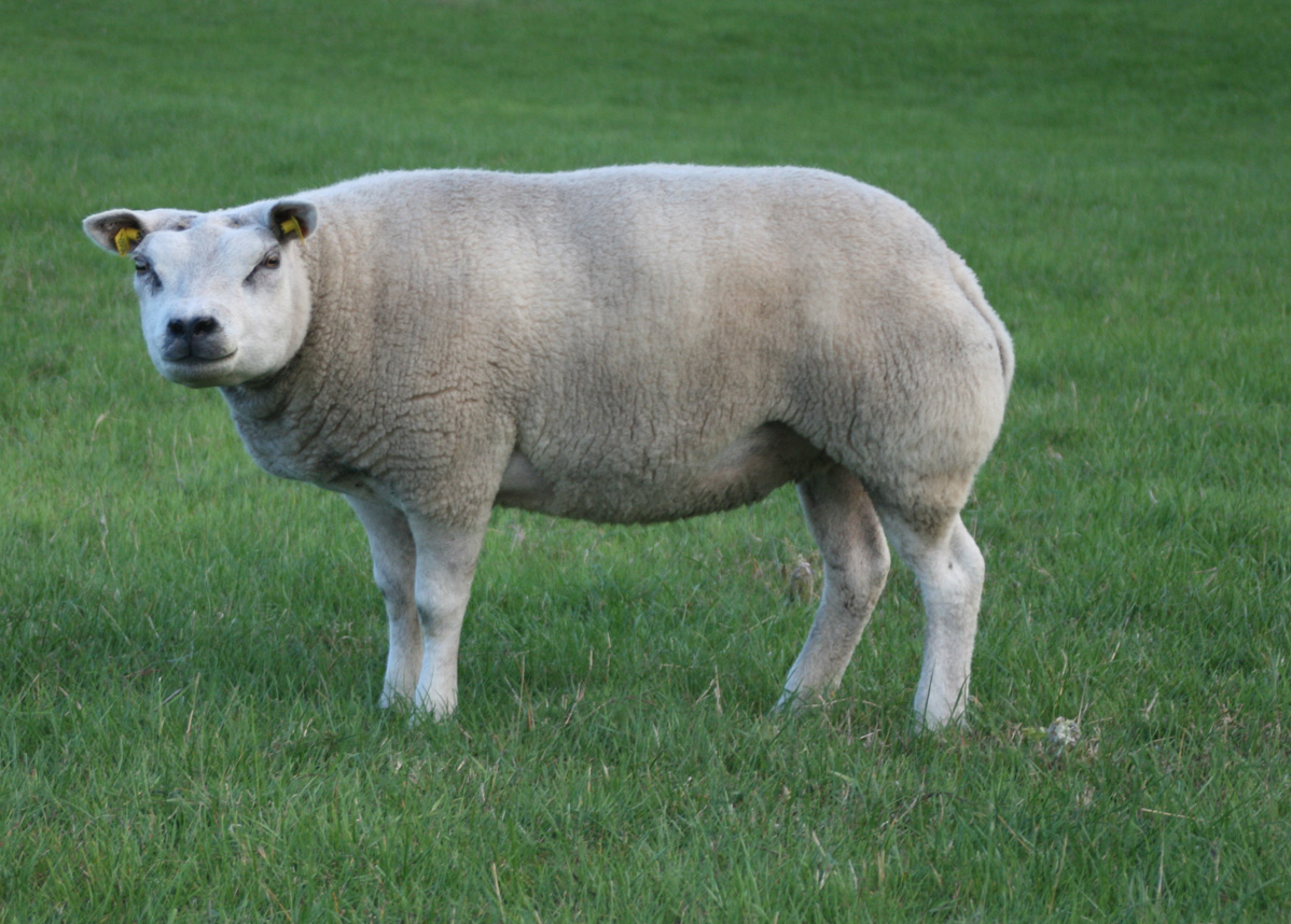 Information - Texel Sheep Breeders Society